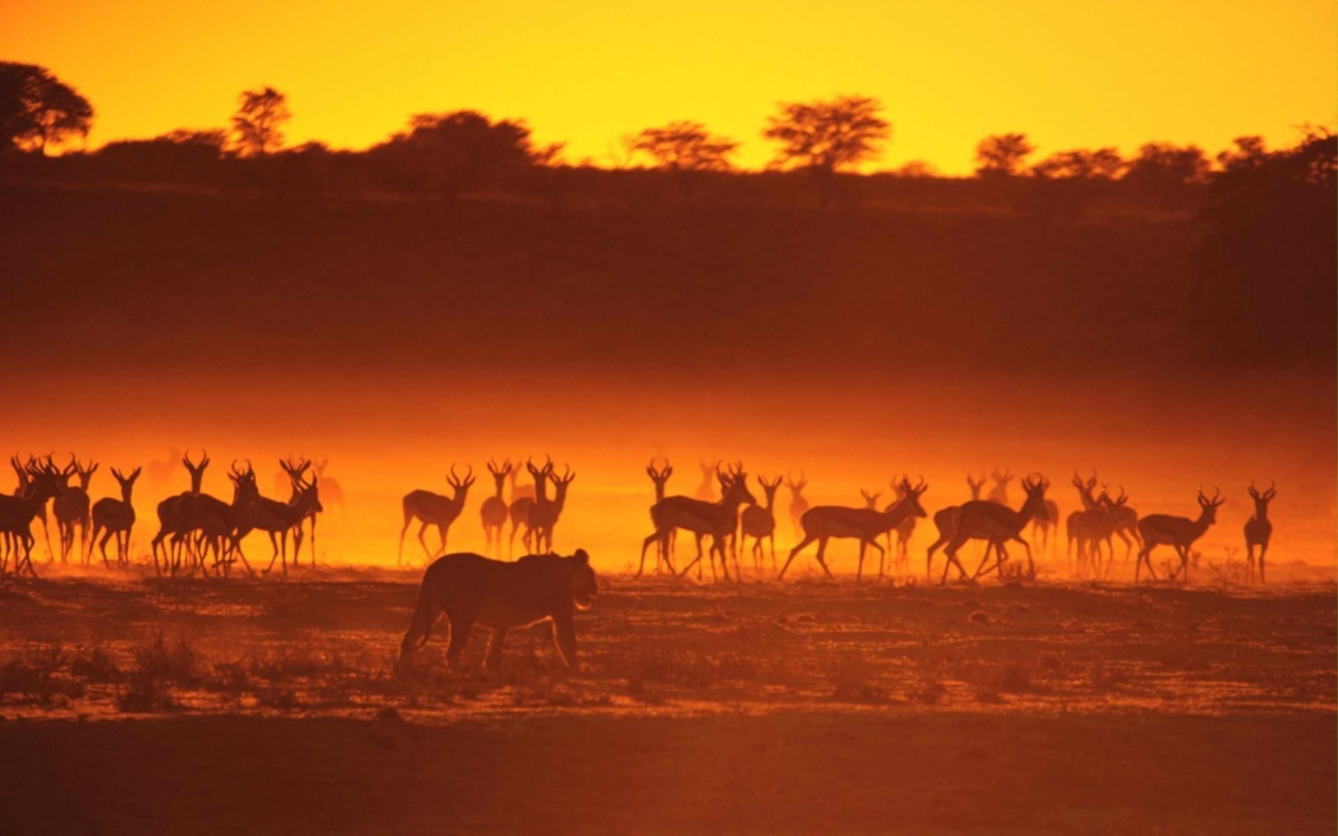 lions hunting antelopes